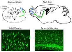 <p><strong>Fig. 1: Migratory pathways of newborn neurons in the developing and adult brain.<br /></strong>In the developing brain, newborn projection neurons, shown in the lower left panel migrate radially towards the cortical plate (blue arrow) while newborn interneurons, shown in the lower right panel, migrate tangentially (green arrow) to be integrated in the cerebral cortex.<br />In the adult brain, newly generated neurons first migrate tangentially along the rostral migratory stream (RMS – green arrow) and when they reach the olfactory bulbs (OB) they shift to radial migration (blue arrow).</p>