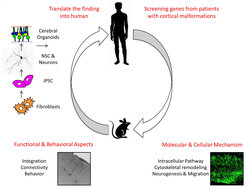 <p><strong>Fig. 3: Schematic drawing of the research plan.<br /></strong>The schema shows: 1) Screening of new candidate genes from human patients affected by cortical malformations, 2) and 3) modeling molecular, cellular and functional aspects of the malformations in the mouse model, 4) translation of the finding into humans by using human induced pluripotent stem cells (IPSC) derived neural stem cells, neurons and cerebral organoids.</p>