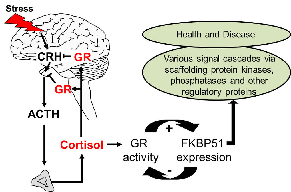 <strong>Fig. 3: FKBP51 shapes stress responsiveness and links stress to various signaling cascades in health and disease.</strong> Activation of the stress hormone axis upon perception of stress enhances glucocorticoid receptor (GR) function, which balances the stress reaction through the negative feedback on the hormones CRH and ACTH. The ultra-short feedback loop ties GR to FKBP51 in virtually each cell. The functionality of this feedback loop is determined by genotype and epigenetic mechanisms (thus, life experience). The multifaceted actions of FKBP51 link stress to several molecular signaling networks important in health and disease (Wochnik et al. JBC 2005, Binder et al. NatGen 2004, Touma et al. BiolPsych 2011, Hartmann et al. Neuropharm 2012, Klengel et al. NatNeuro 2013).
