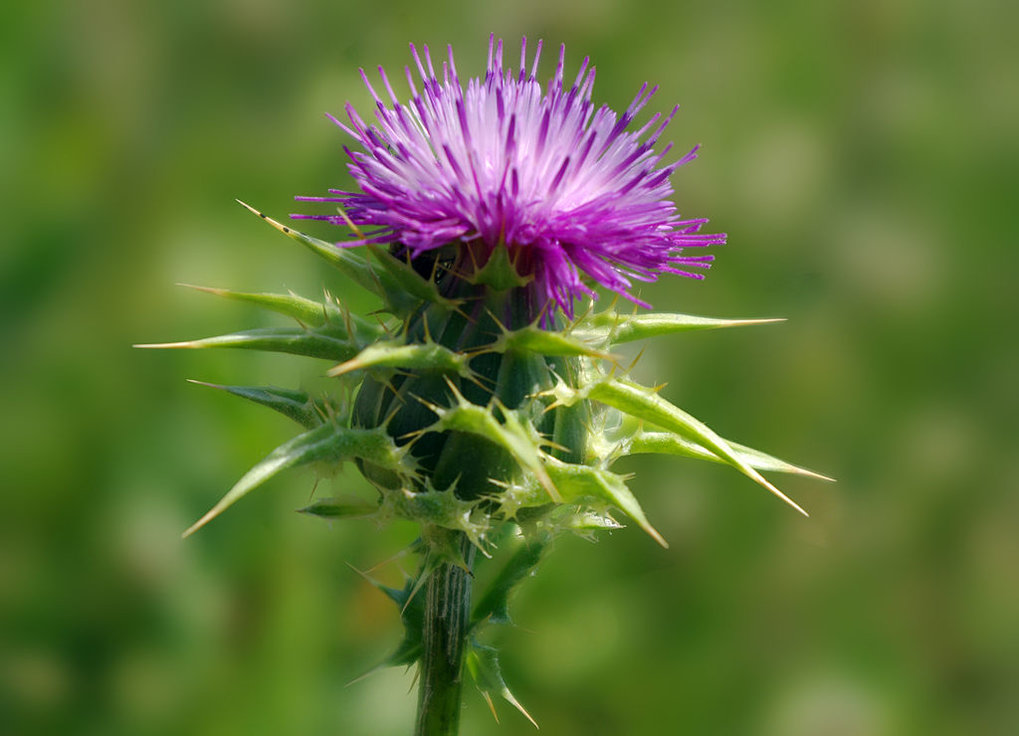 The seeds of the milk thistle contain Silibinin